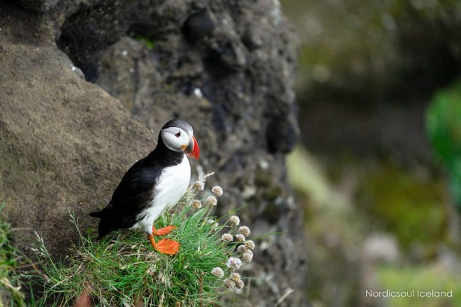 Atlantic puffin on a cliff in Dyrholaey in the south of Iceland