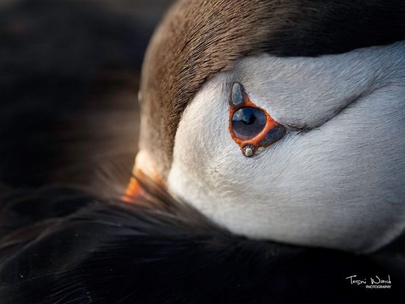 A close up on a puffin's eye