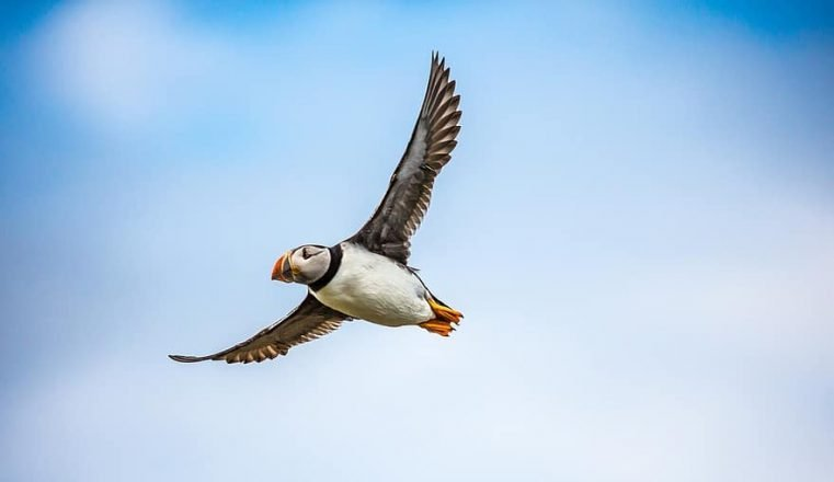 A puffin flying.