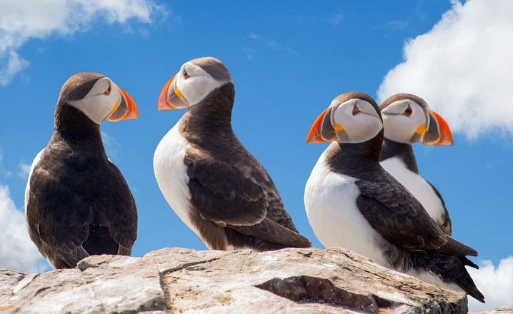 Puffins standing on a cliff