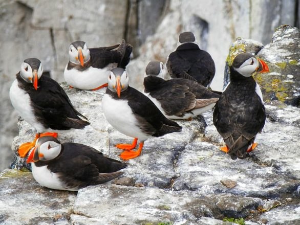 A small gathering of puffins