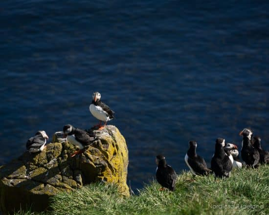 Puffins on a cliff.