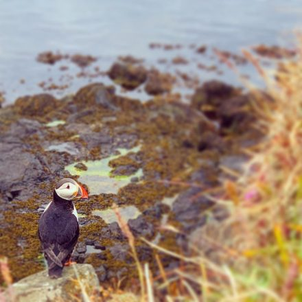 A puffin nesting on a cliffside in Flatey