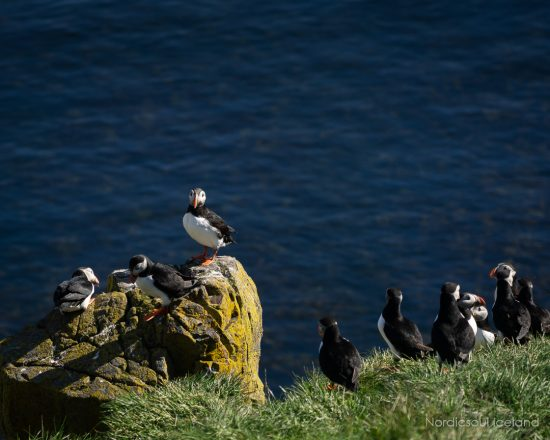 A group of puffins nesting on an Icelandic cliffside.