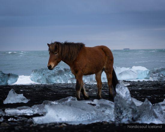 An Icelandic Horse on the Diamond Beach