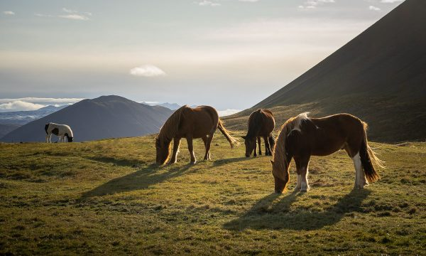 Icelandic horses grazing in the countrysiden the