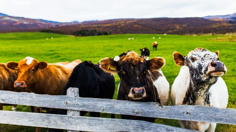 Icelandic cattle.