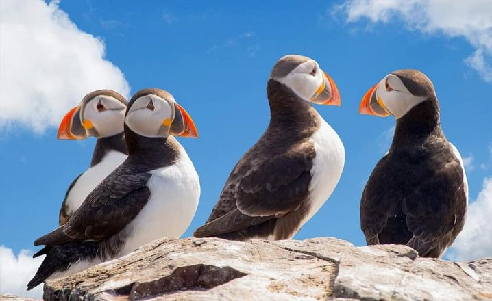 A group of puffins nesting in Iceland