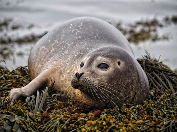 A seal lounging on a bed of seaweed.