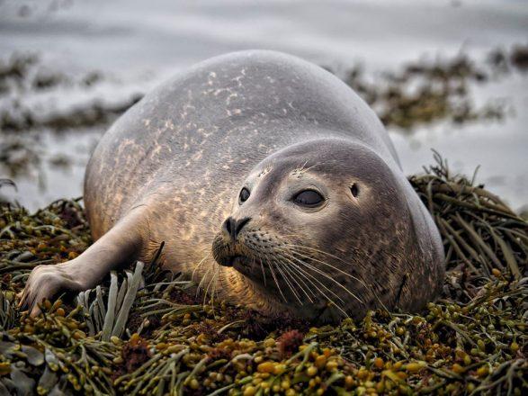 Un phoque se prélassant sur un lit d'algues.