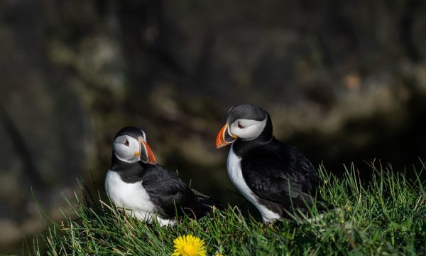 Two puffins on grass.