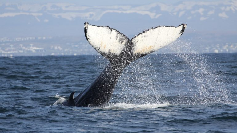 A photograph from an RIB Boat Whale Watching Tour from Reykjavík