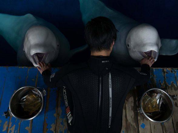 A man feeding two beluga whales.