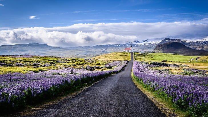 Fleurs de lupin bleu par une route menant à une église rouge sur la péninsule de Snaefellsnes.