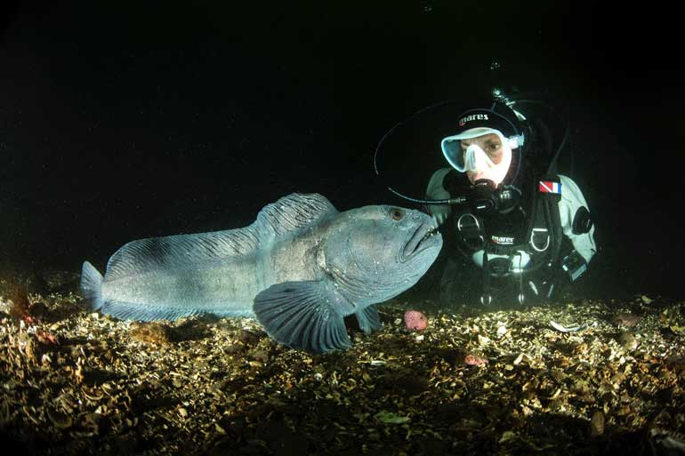 Wolffish at Strytan Iceland