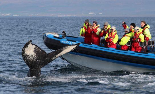 Observation des baleines avec Gentle Giants Iceland