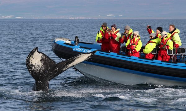 Whale watching with Gentle Giants Iceland