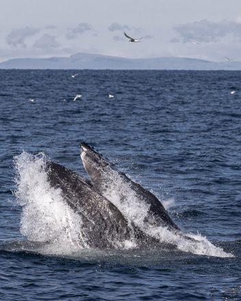 A whale breaches the ocean surface.