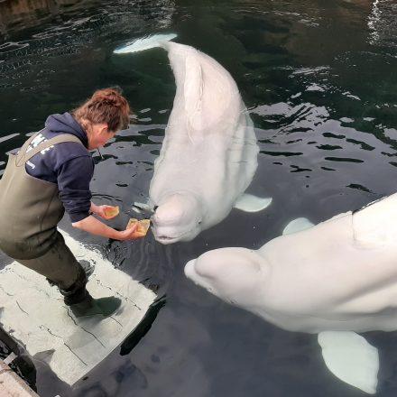Feeding beluga whales.