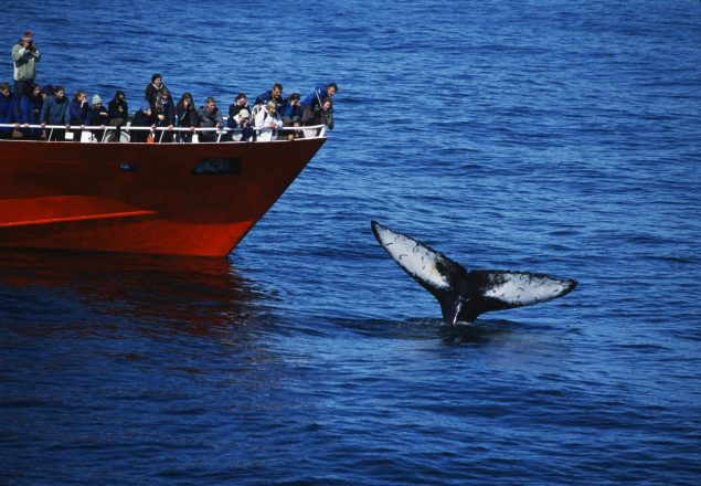 A whale's fluke out of the water in Iceland.