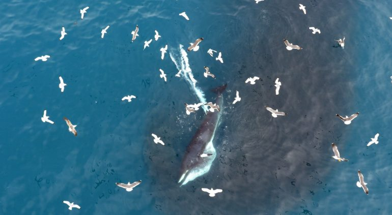 Seabirds surround a whale in Iceland.