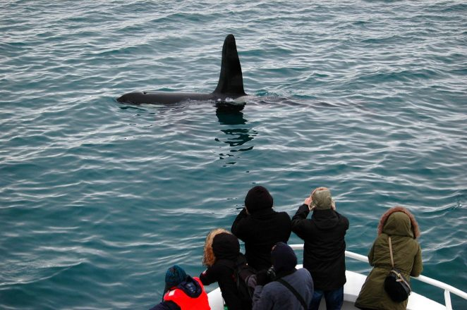 Whale watchers spot a killer whale in the water.