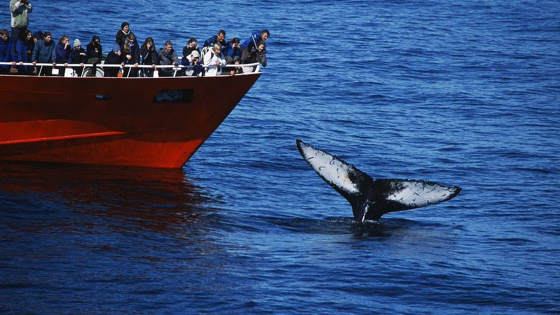 Visite classique d'observation des baleines depuis le vieux port de Reykjavik
