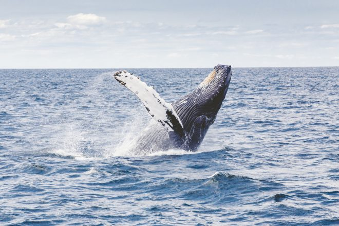 A humpback whale leaping from the water.