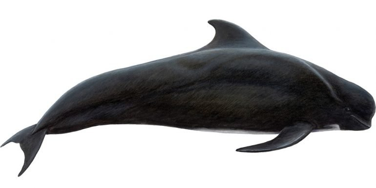 An illustration of a pilot whale.