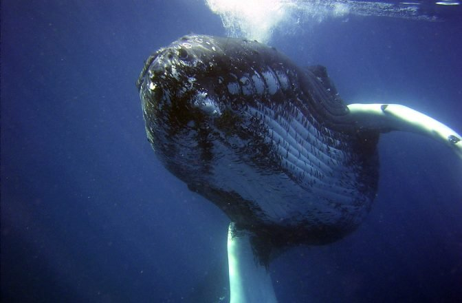 A humpback whale beneath the water.