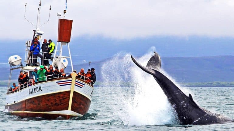A whale breaches from the water in Iceland.