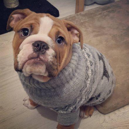 Un bulldog anglais portant un pull.