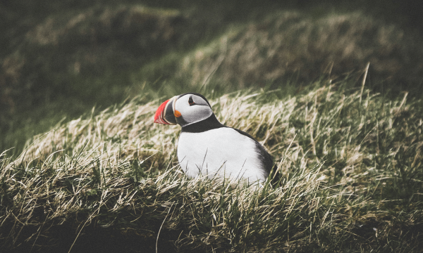 Westman Island Day Tour with Lunch | Volcanoes & Puffins