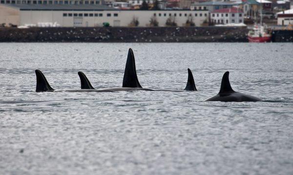 Winter Whale Watching from Grundarfjörður