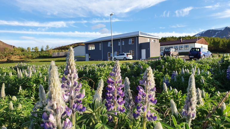 Blue lupin flowers in front of Sóti Lodge in North Iceland.