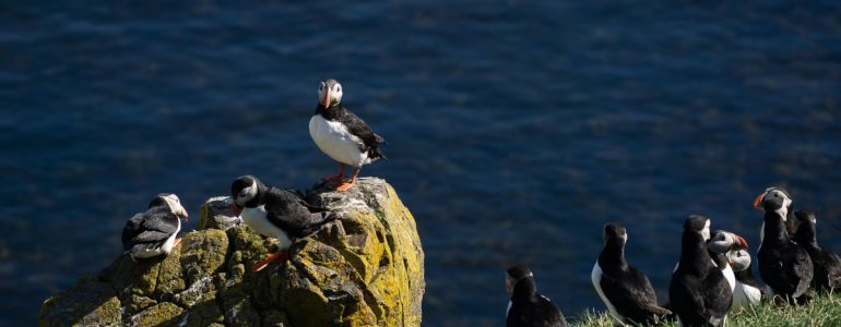Atlantic puffins gathering on a rock in Iceland