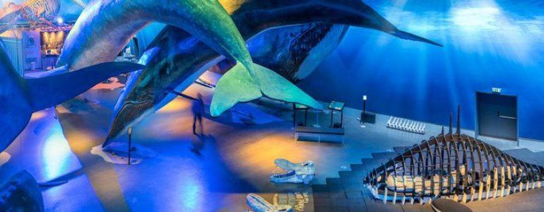 À l'intérieur du musée des baleines d'Islande, vous pouvez voir des baleines grandeur nature suspendues au plafond